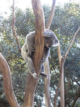 Sleeping Koala and Featherdale Wildlife Park , James Fong - August 2013