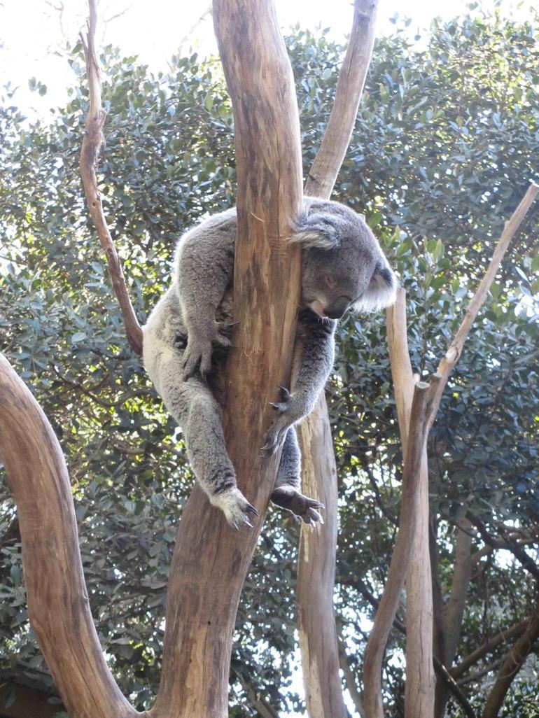 Sleeping Koala - Sydney