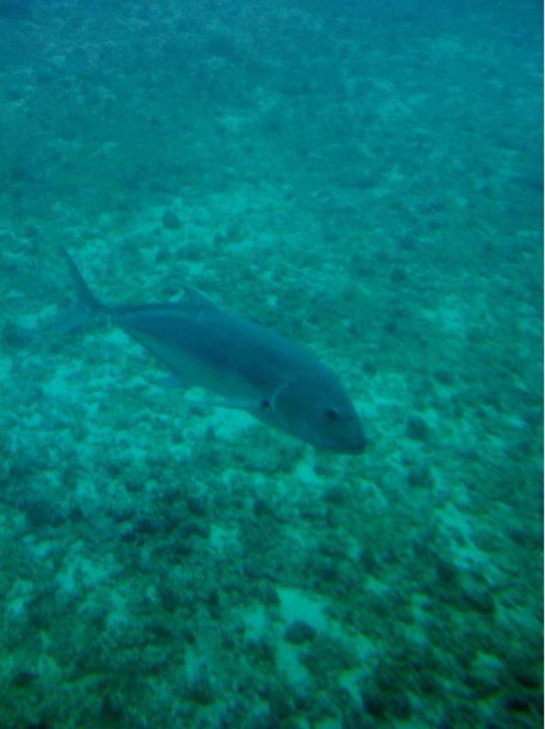 Fish - Oahu