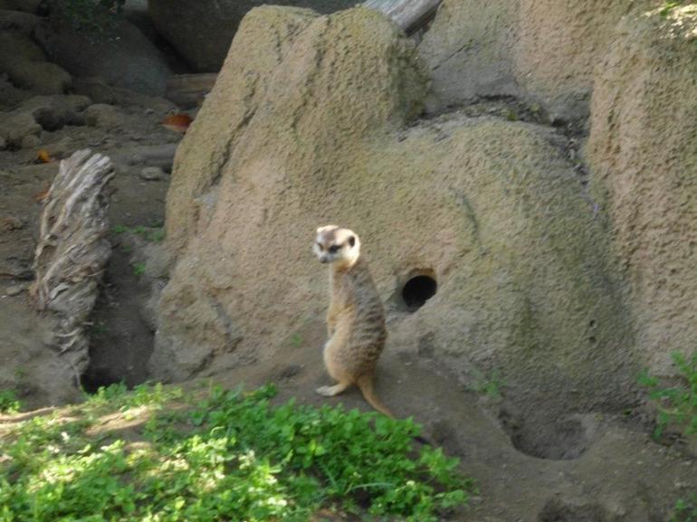 Meerkat - San Diego
