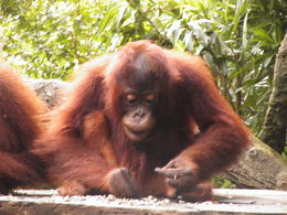 One of the orangutans whilst we had breakfast , Glenda P - June 2016