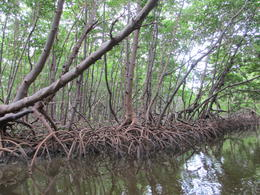 These mangroves are amazing , Michelle M - June 2017