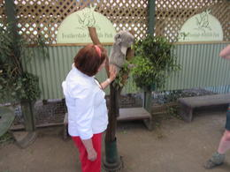 my wife is feeding a koala , D. F. P - January 2015