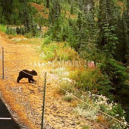 How lucky we are ! When we were heading back on the road, A Mother bear with little one cross by, walking in front of us! bear , Monica Q - August 2015