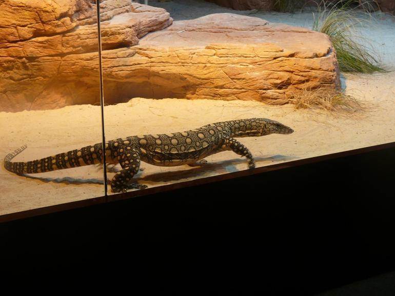Lizard - Sydney