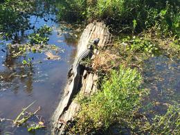 Alligator sunning on a log. , Sheila S - October 2014