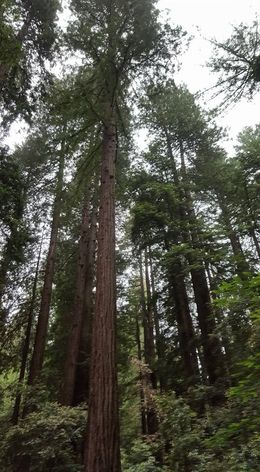 The giant redwoods in Muir woods. , Dawn B - June 2016