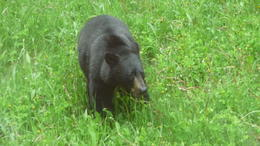Black Bear in Banff National Park , William W - July 2012