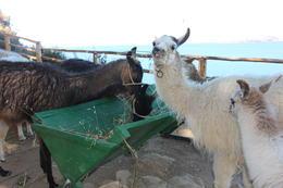 Playing with llamas!, Bandit - July 2014