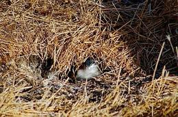 While walking around the Nobbies you may see a penguin or two poking out of their burrow., Lisa C - February 2009