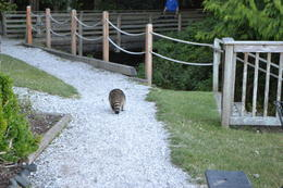 A visit isn't complete without the required raccoon shot! , Patricia G - August 2014