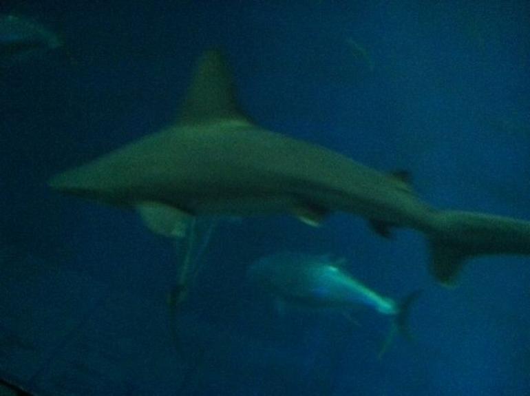 sharks - Monterey & Carmel