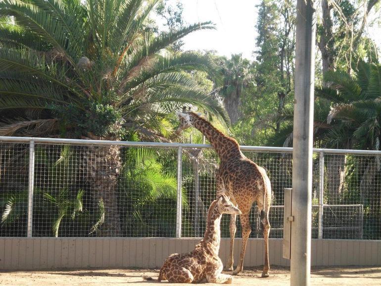 Giraffe - San Diego