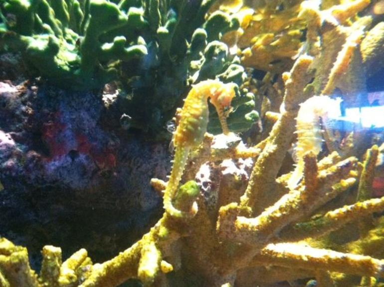 Seahorses - Monterey & Carmel