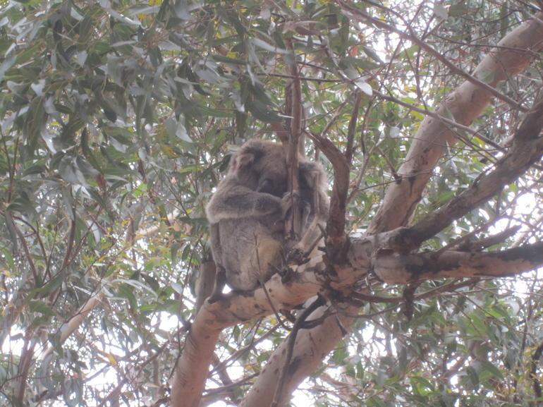 Koala - Adelaide
