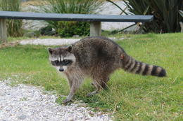 Enjoying the baby raccoon prancing around the village - July 2014