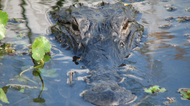 Wild Florida Airboat Ride with Transportation