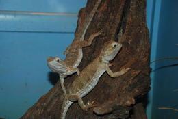 Dragon lizards at Lone Pine sanctuary , Geoffrey S - January 2015