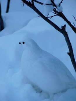 A ptarmigan we ran across while hiking around Lake Louise., kellythepea - October 2010