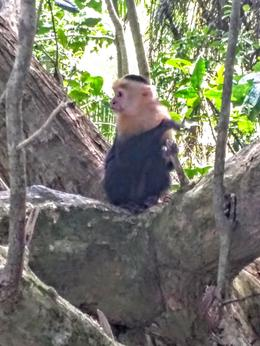 1of the 3 species of monkey sighted. The others were howler and spider. , Paul P - July 2017