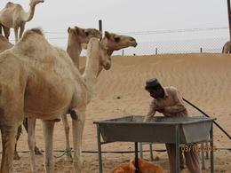 Camel herder tending to his camels , ktrend65 - October 2016