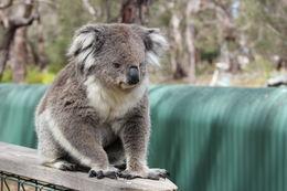 vår lille koala ven fra koala centeret. meget fotogen!! , Morten R - November 2015