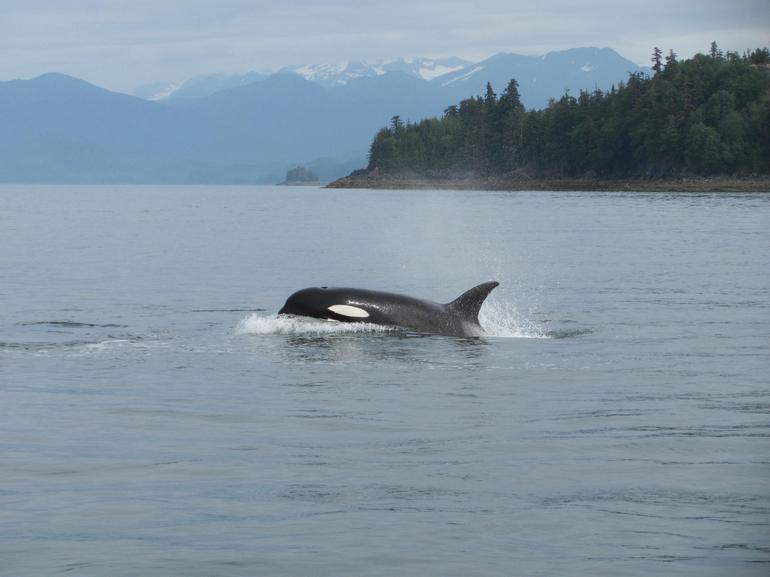 Orca - Alaska