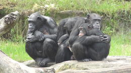 Tarongo Zoo Chimps so interesting to observe. , Ann S - May 2014