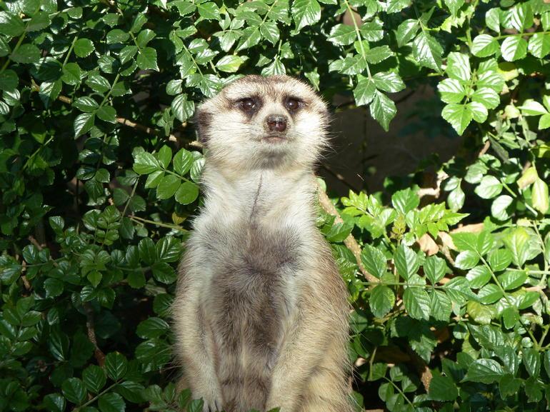 Super Cute Meerkat! - San Diego
