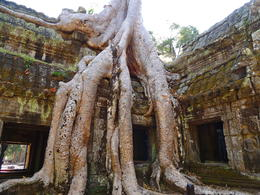 Ta Prom is one of the temples at Angkor Wat. This temple was used in the film and quot;Tomb Raider and quot; and has trees growing up through the ruins. , Kevin F - December 2014