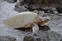 Green sea turtle , reneecornaga - October 2013