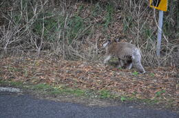 This koala walked right in front of our tour van in the middle of the day. , Judy G - April 2014