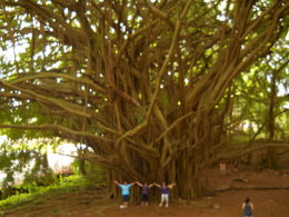 My two friends and I just had to have a photo of us in front of this Banyon tree to show just how big it really is. Took on Big Island Tour. , MARY K H - April 2015