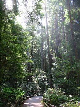 Giant Redwoods , Clive R - June 2014