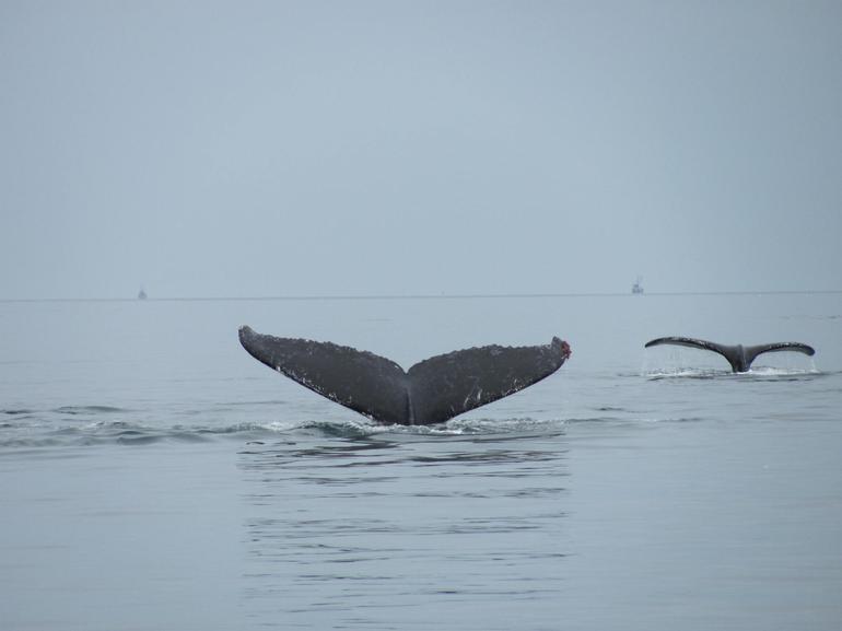whale tails - Juneau