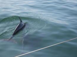 Dolphins! , Alana M - July 2012