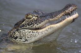Feeding gators. , Jennifer R - July 2015