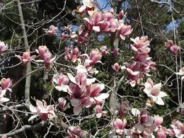 Magnolias (Imperial Palace grounds), Krishnan Vaitheeswaran - April 2010