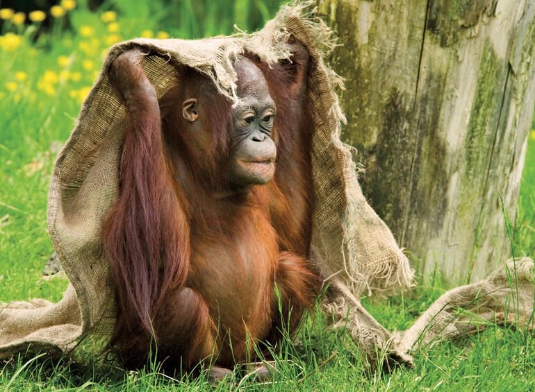 Orangutan - Malaysia