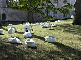 Swans relaxing canalside , Paul S - July 2017