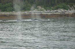Whales bubble-netting , Diane F - July 2014