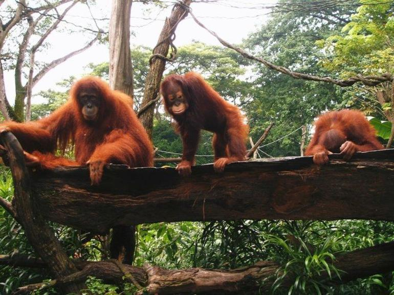 Breakfast with the organtutans at Singapore Zoo - Singapore