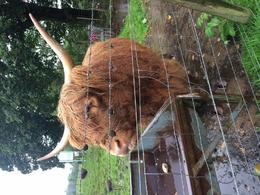 Hairy Highland Coo! , Anne H - September 2016