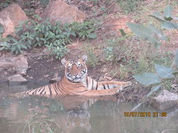 The tiger just strolled down from the hills, walked across the road and then soaked in the pool. It was totally posing for us. After getting many pictures of him, he decided he was finished and..., Rachel P - October 2015
