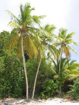 Trunk Bay coconut tree., Richard S - August 2009
