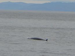 One of the minke whales we saw........ , eldeedee - September 2012