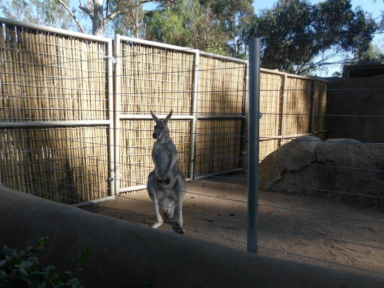 Kangaroo - San Diego