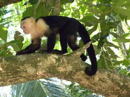 Capuchin Monkey in tree above picnic area , Britt B - May 2013