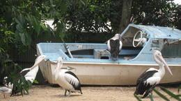 Featherdale Wildlife Park pelican exhibit , AJM - May 2017