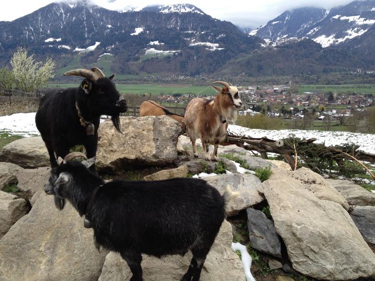 Heidi's Goats - Zurich